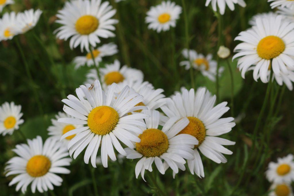 Daisy Flowers - Specials